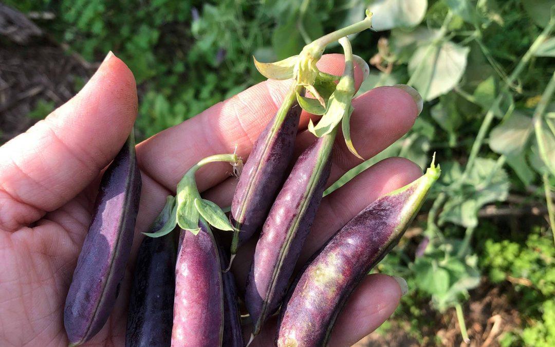 Localvore: Peas